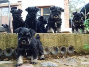 genetics-of-dog-breeding