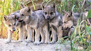 pseudopregnancy in wild dogs