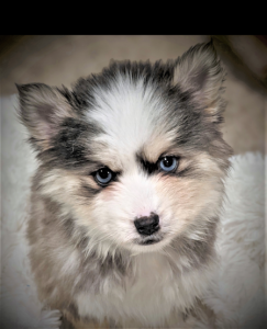 pomsky puppies mo